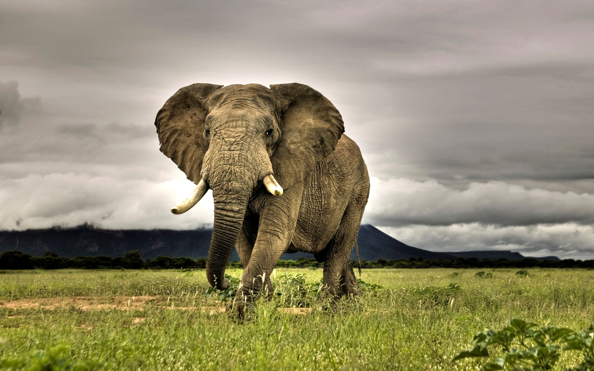 Wild Elephant Animal Wall Paper For Free