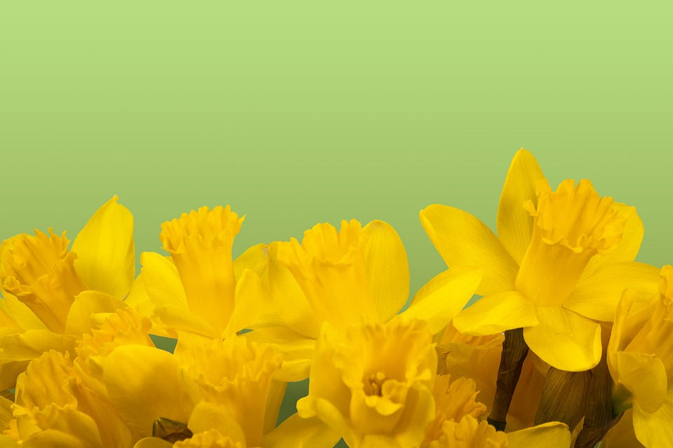 Yellow Daffodil Flower Background