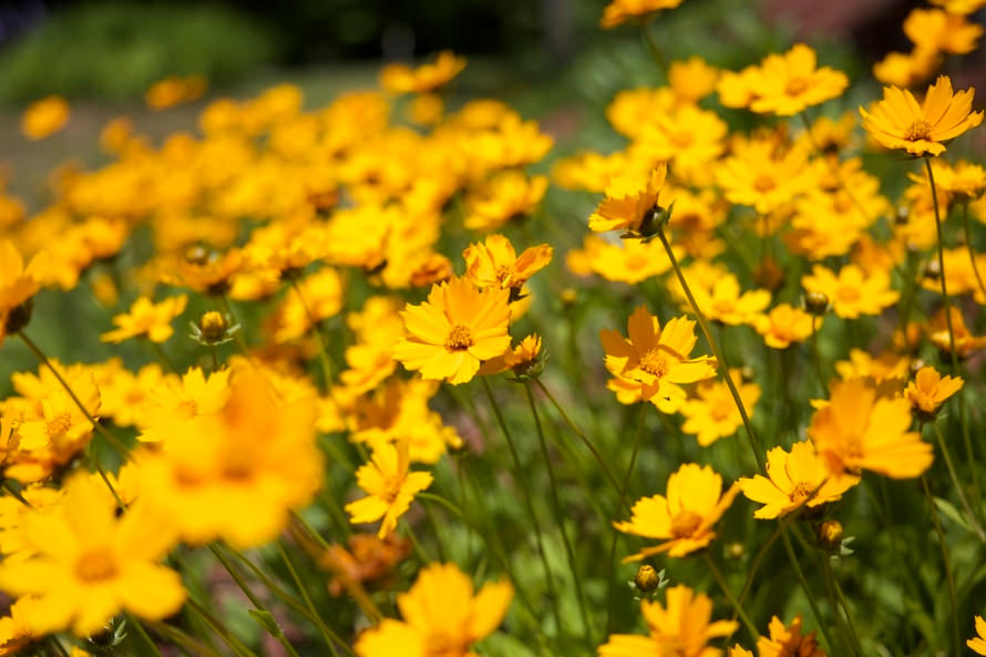 Yellow Flowers Background Free Download