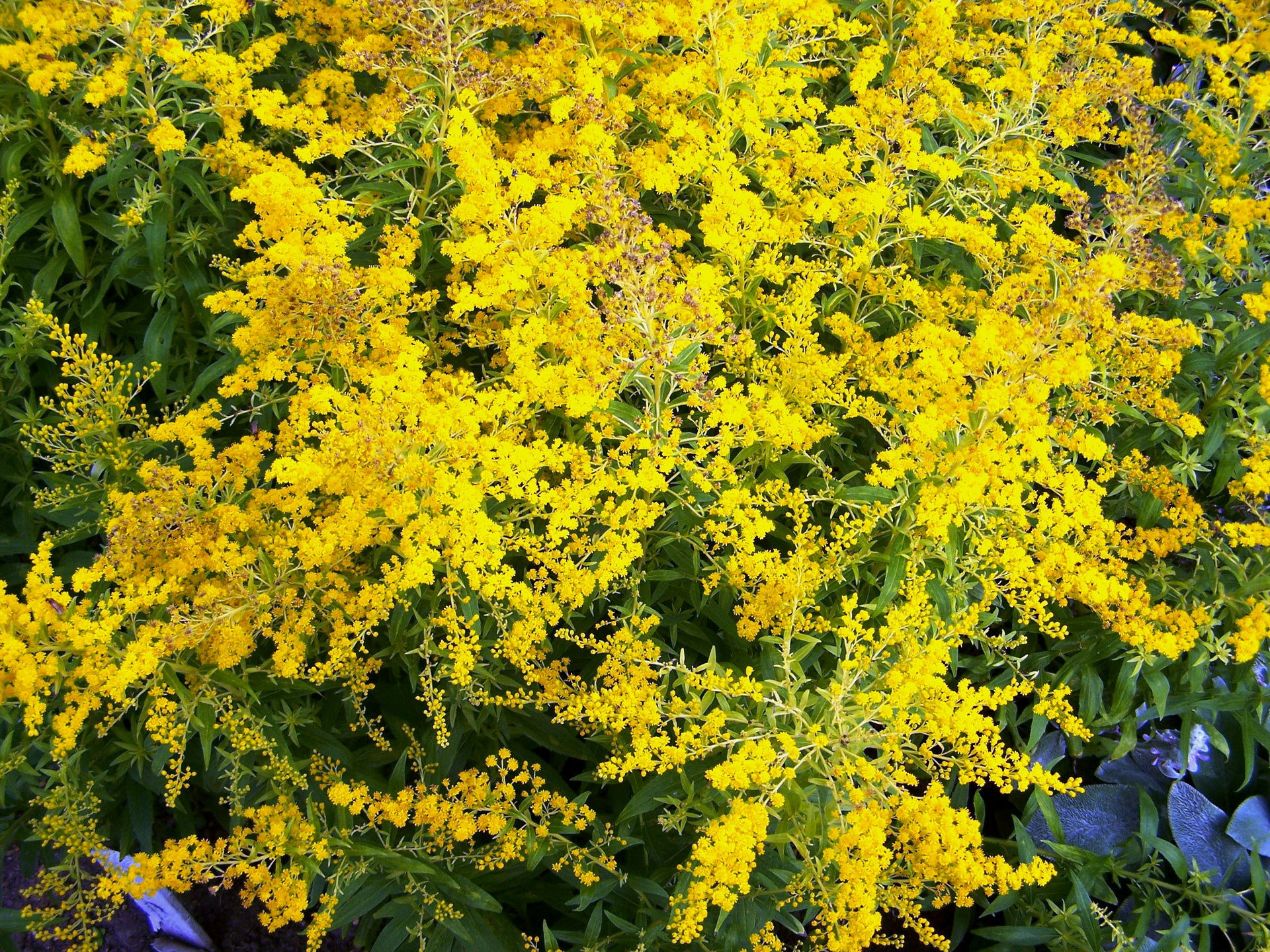 Yellow Mimosa Flowers Background