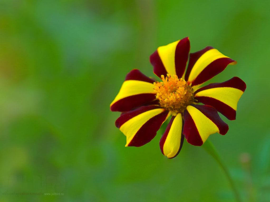 Yellow & Red Flower Background