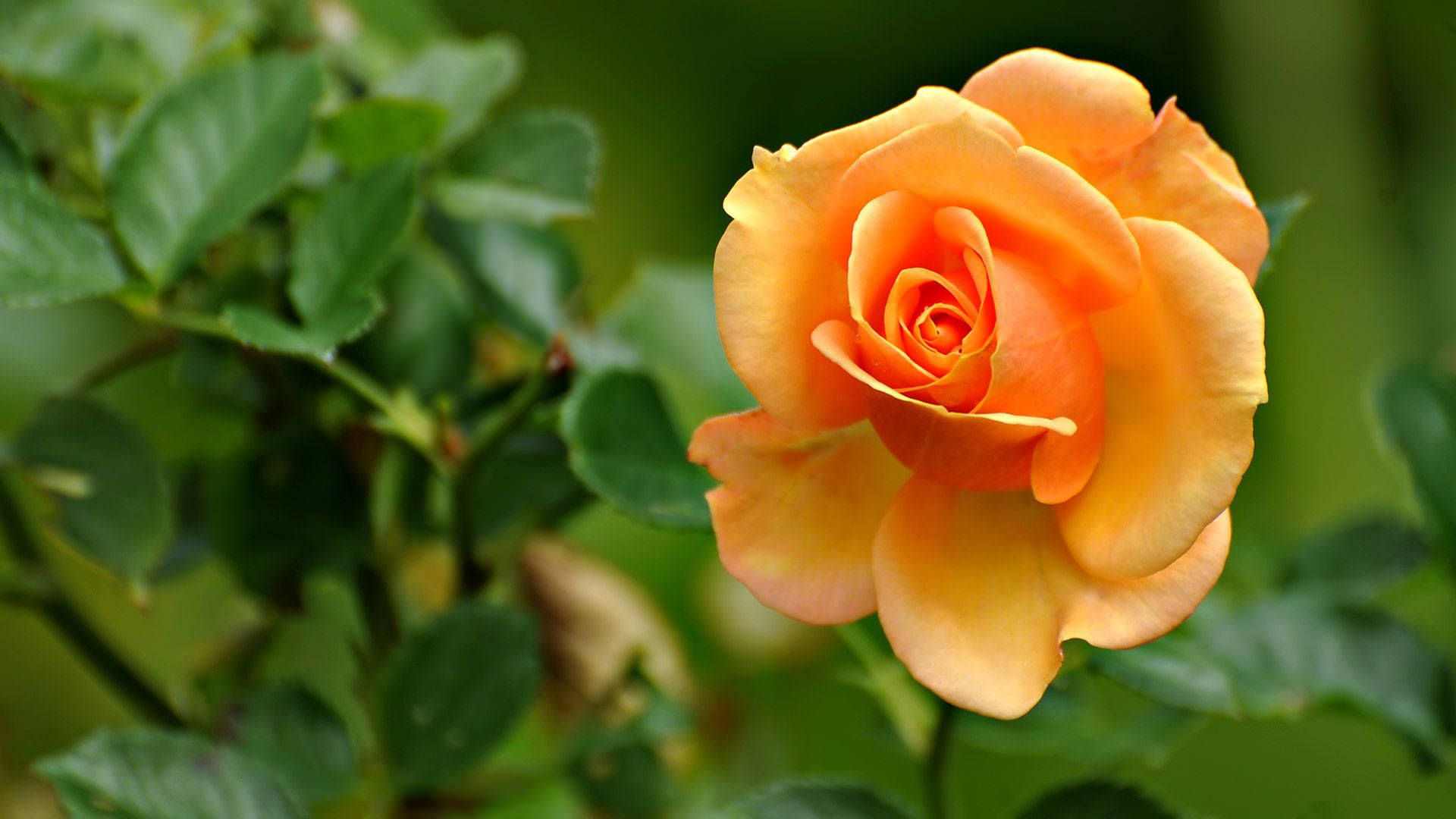 Yellow Rose Flower Background For Free