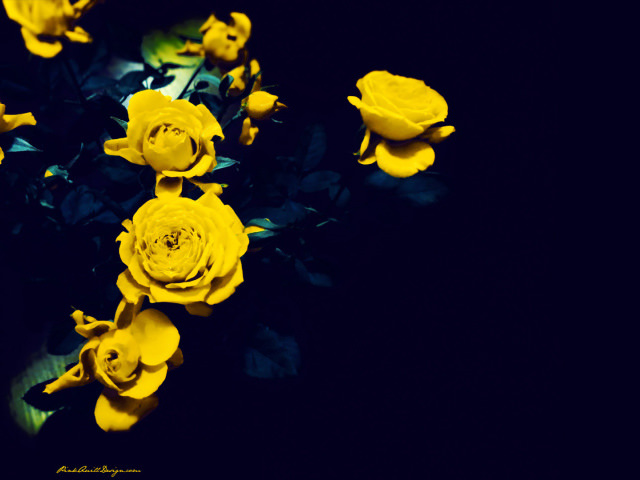 Yellow Roses on a Dark Blue Background