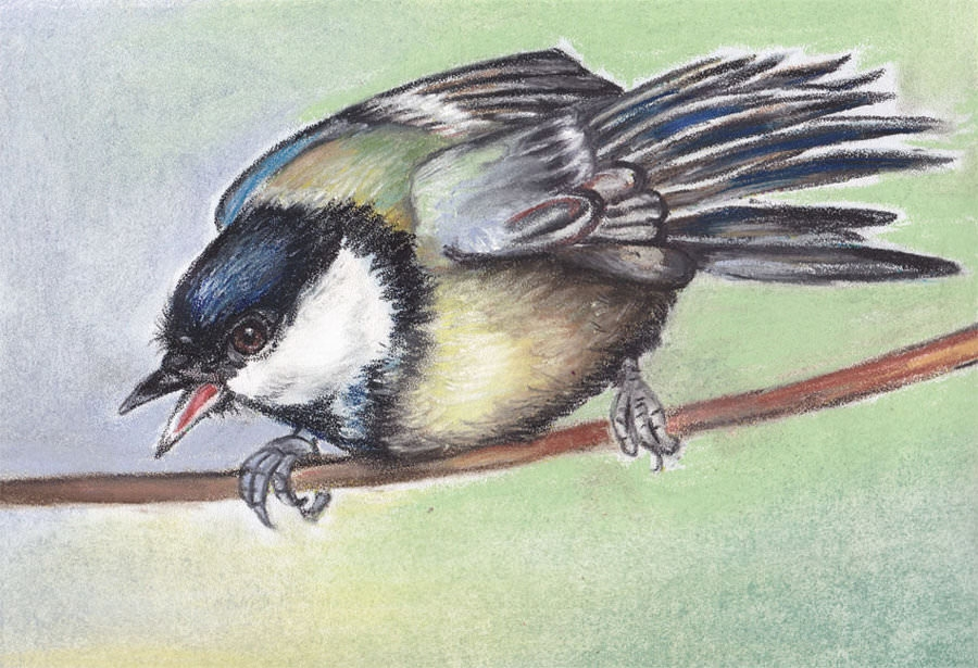 Titmouse Bird Drawing