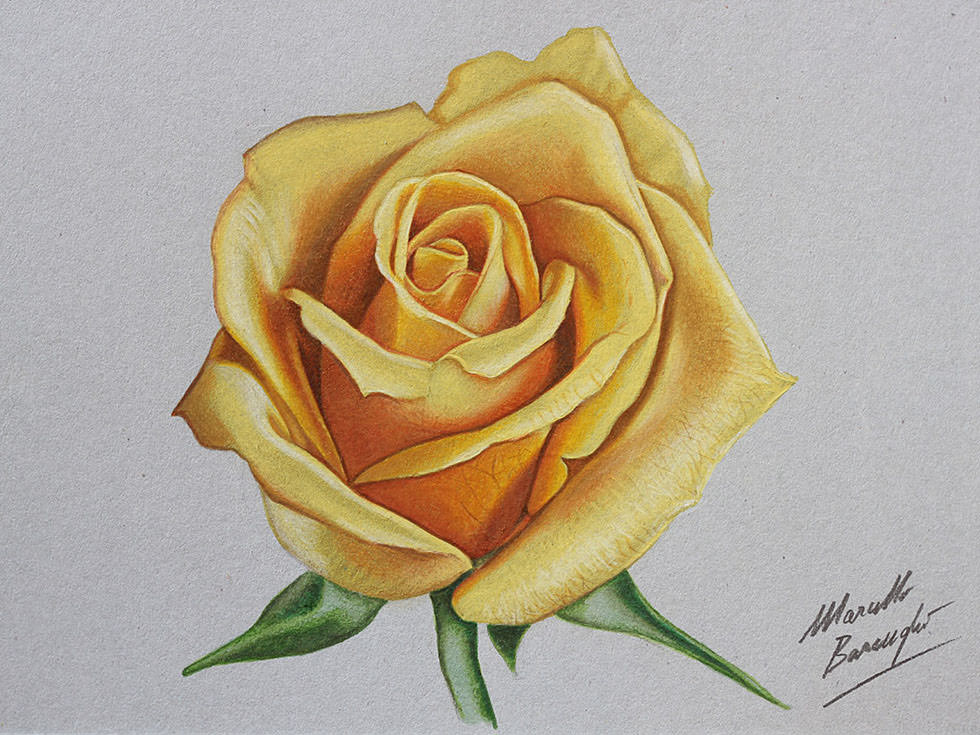 Yellow Rose Flower Drawing