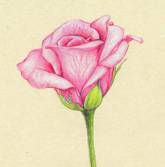 Rose Flower Drawing Art