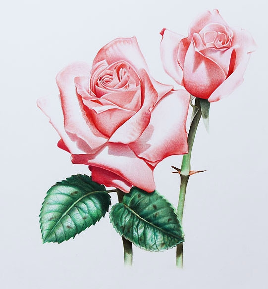 Cute Red Rose Flower Drawing