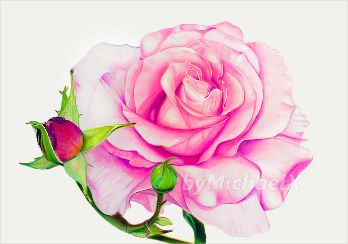 Magnificent Rose Flower Drawing