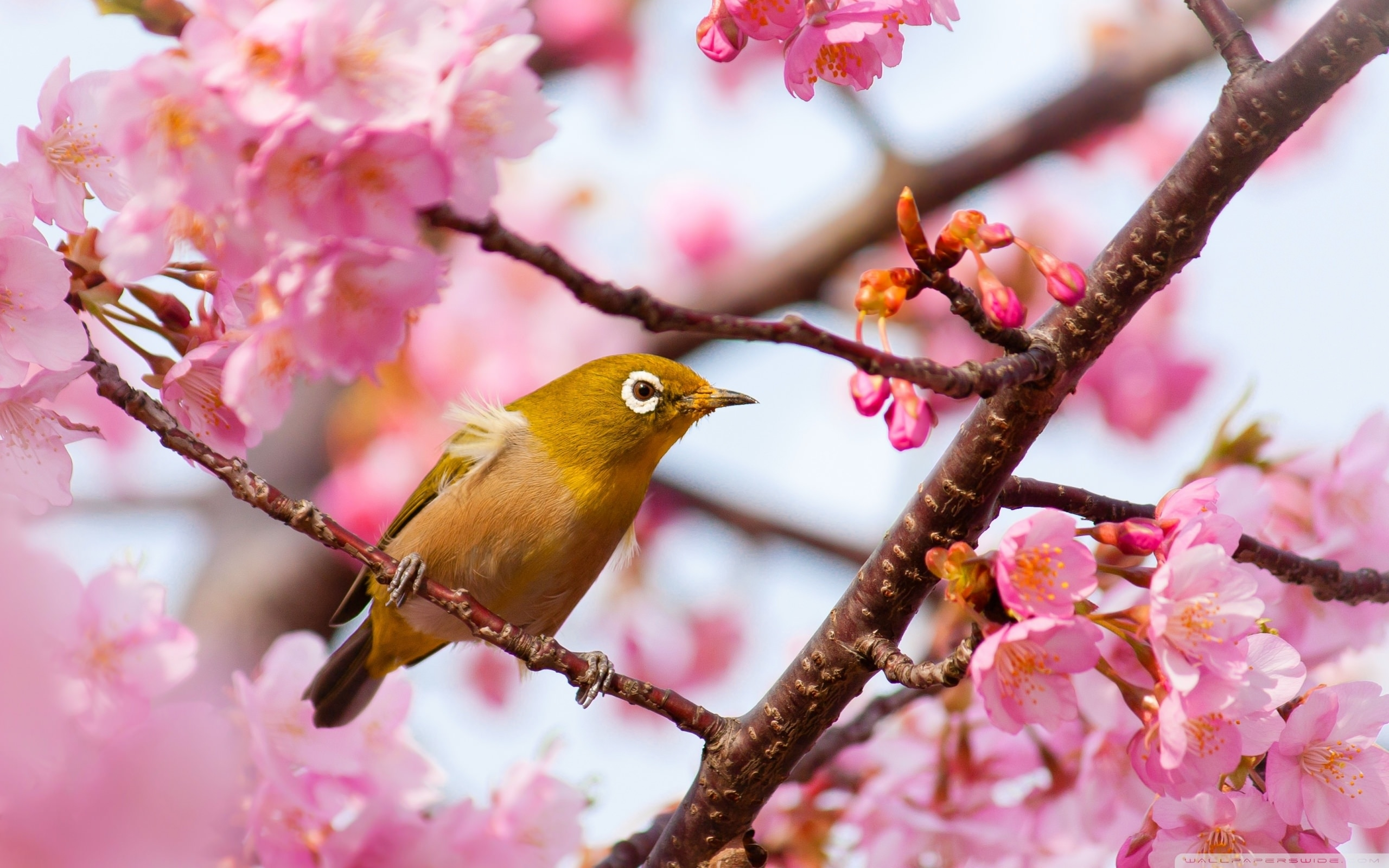 download yellow bird on a cherry blossom tree branch wallpaper