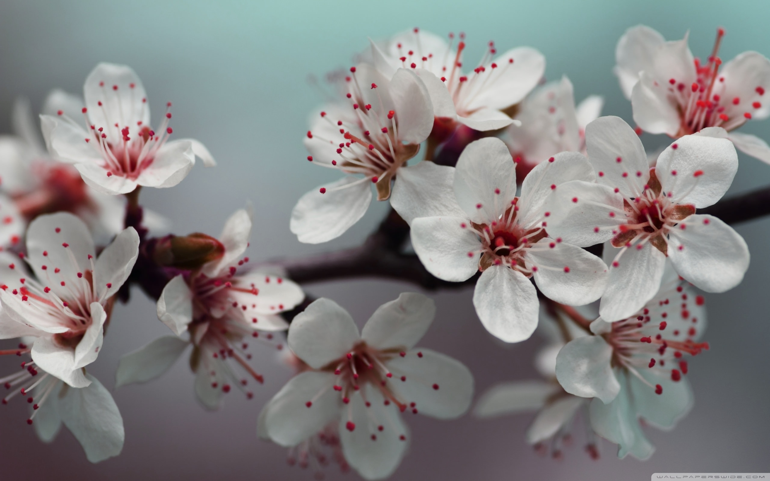 download blossom wallpaper