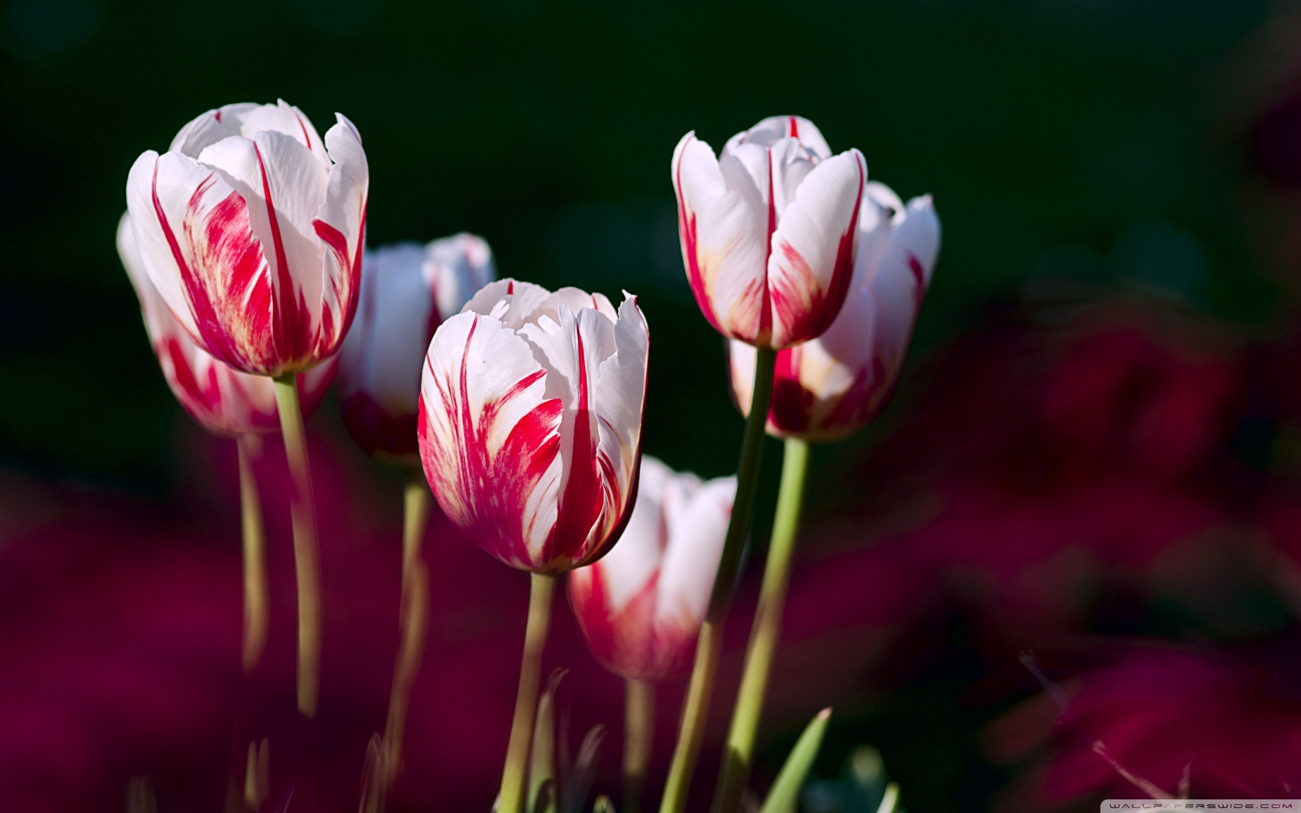 download white red tulips wallpaper