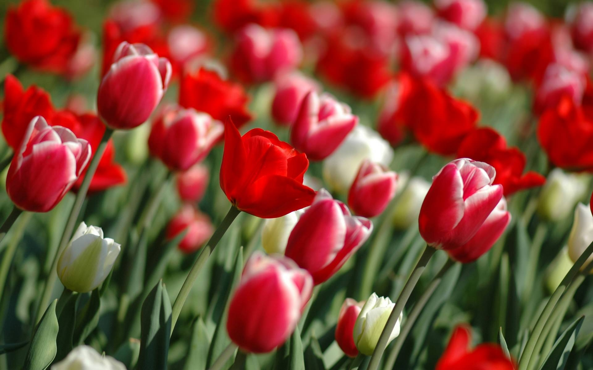 red tulips in spring season hd widescreen wallpaper
