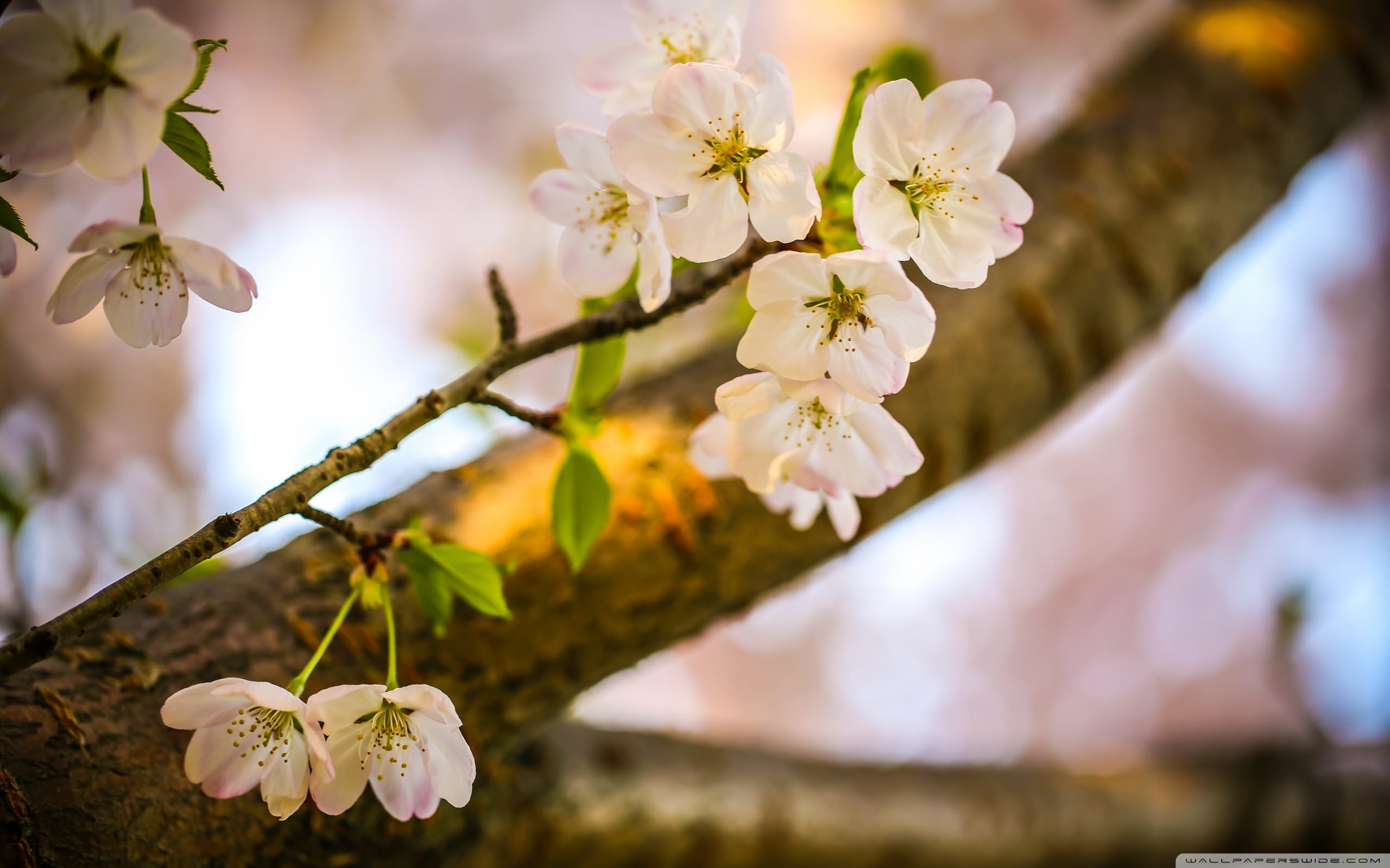 download let the cherry blossoms bloom wallpaper