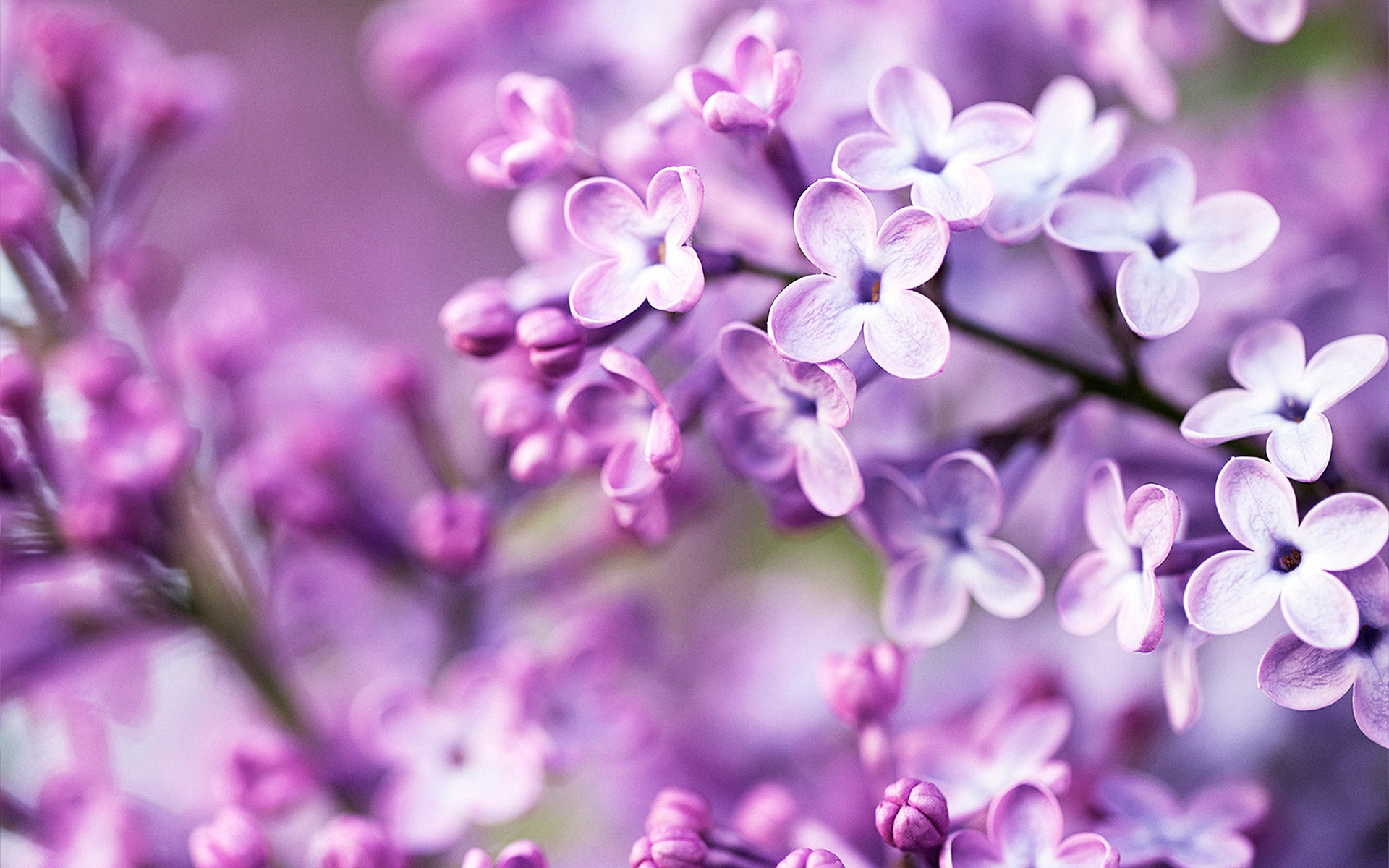 spring purple flowers wallpaper