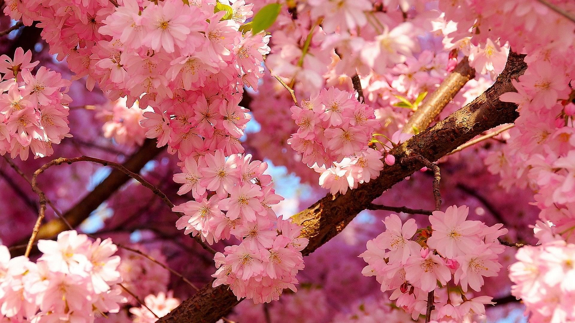 cherry blossoms spring wallpapers