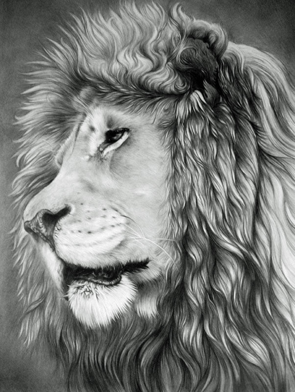 amazing lion drawing for you