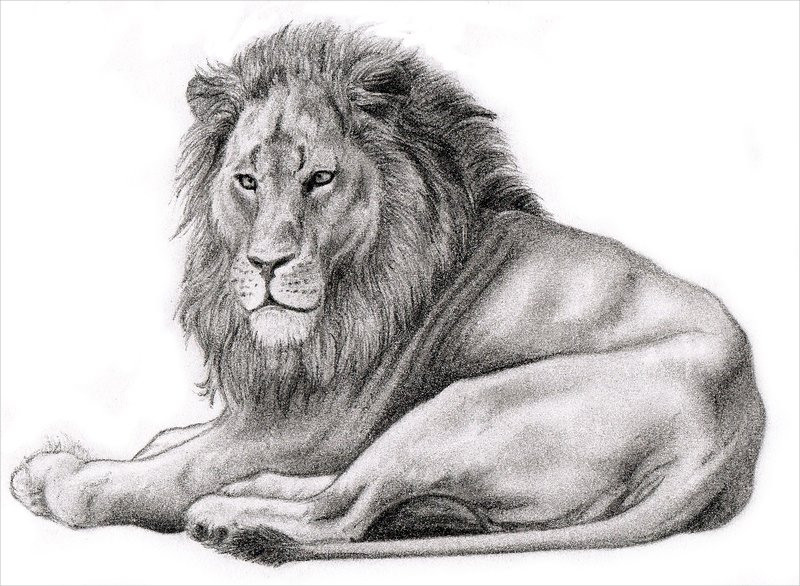 lion drawings, pencil drawings, sketches  freecreatives, coloring pages