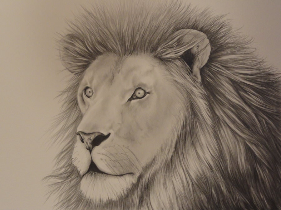 african lion drawing for free