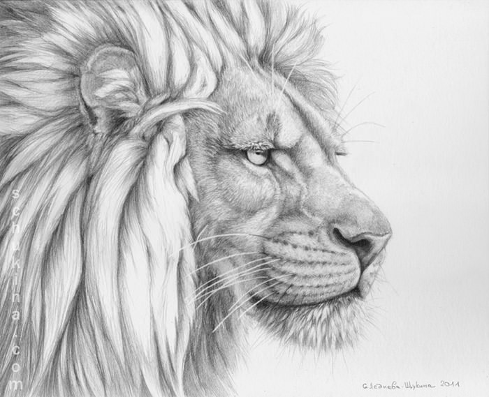 lions mane drawing for you