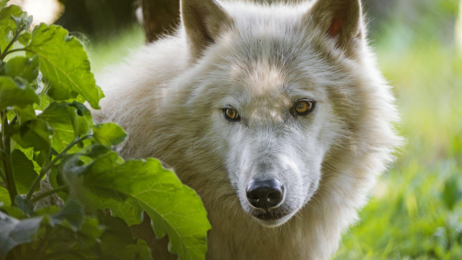 Predatory Wolf Background