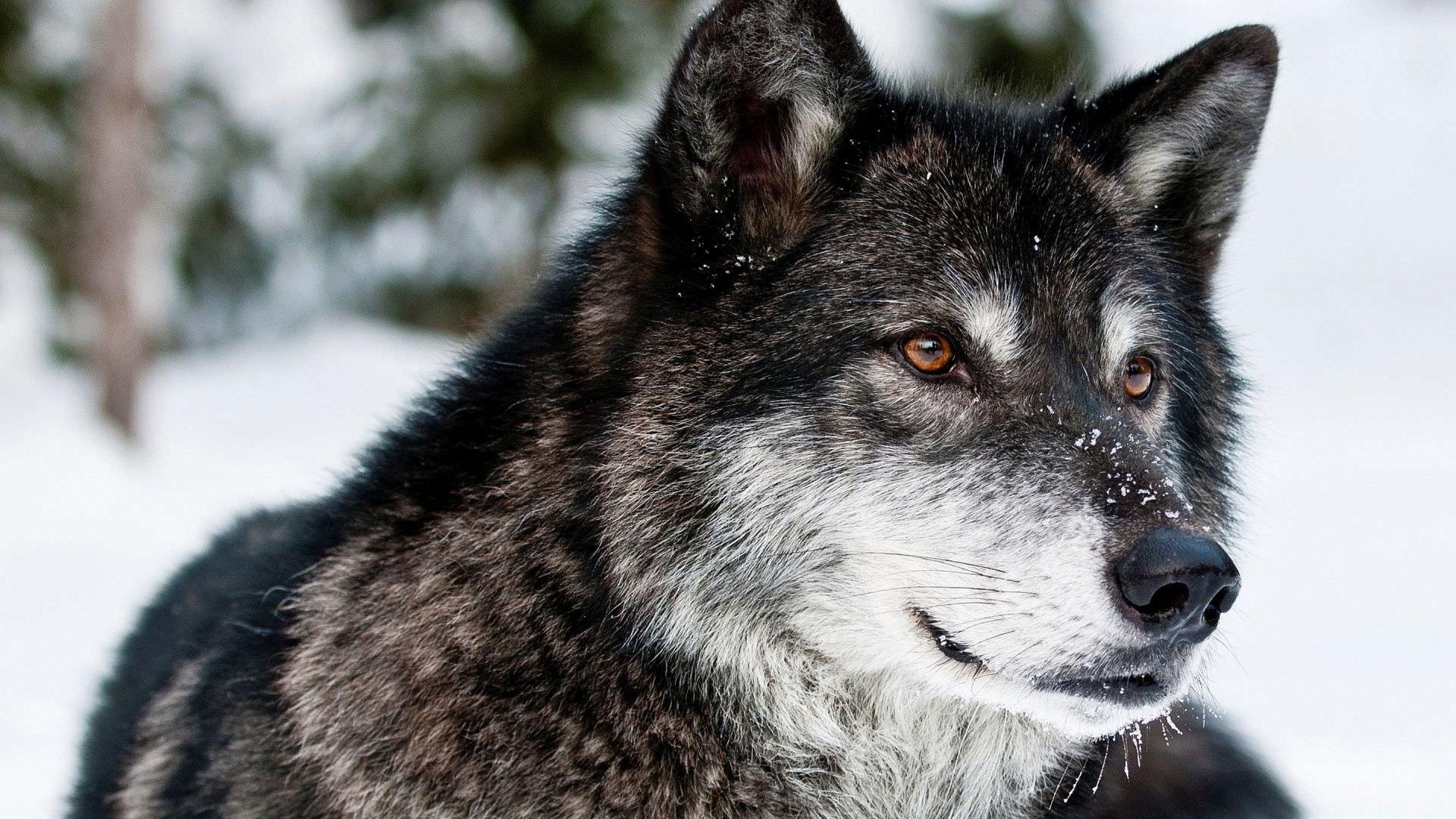 Gray Wolf Background