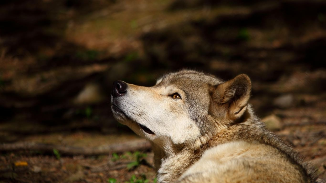 Wolf Looking Up Background