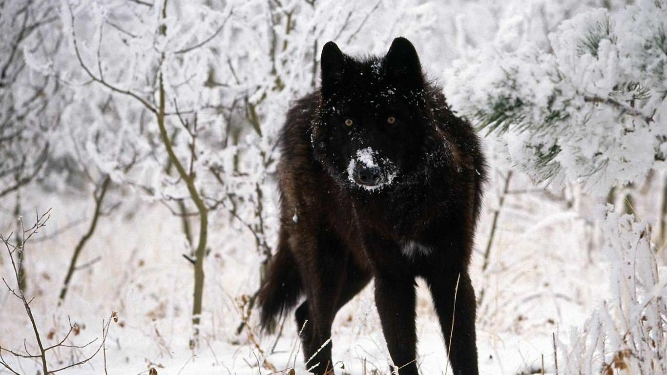 Black Wolf Background