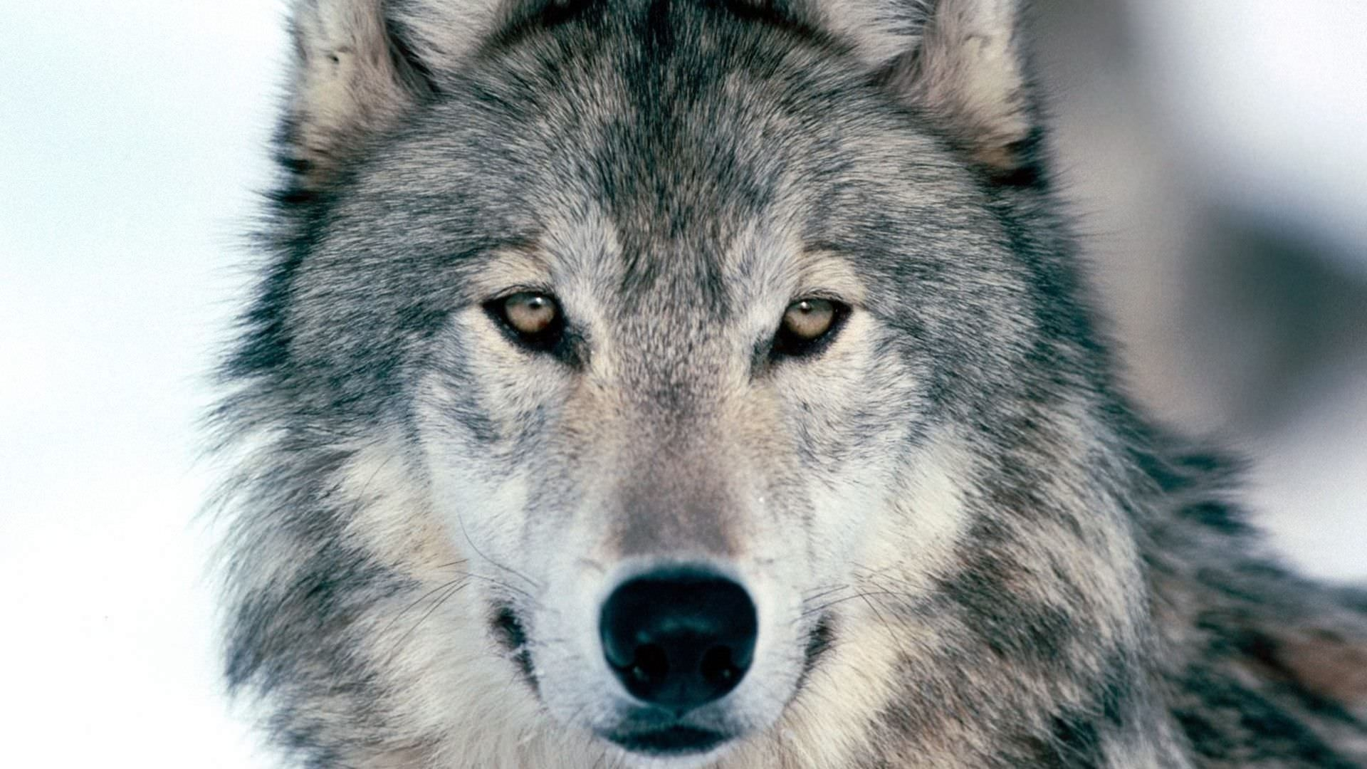 Awesome Wolf Background