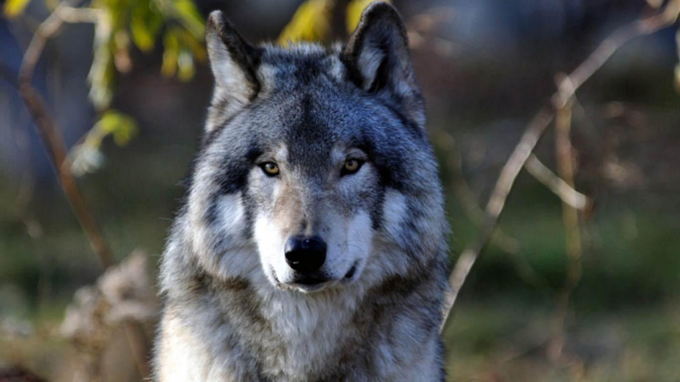 Majestic Wolf Stare Background