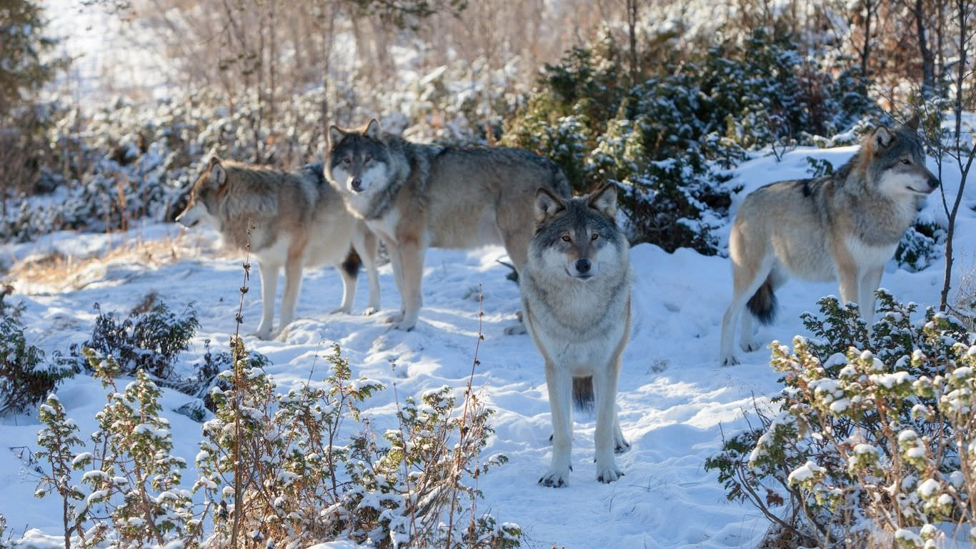 Wolf Pack in the Snow Background