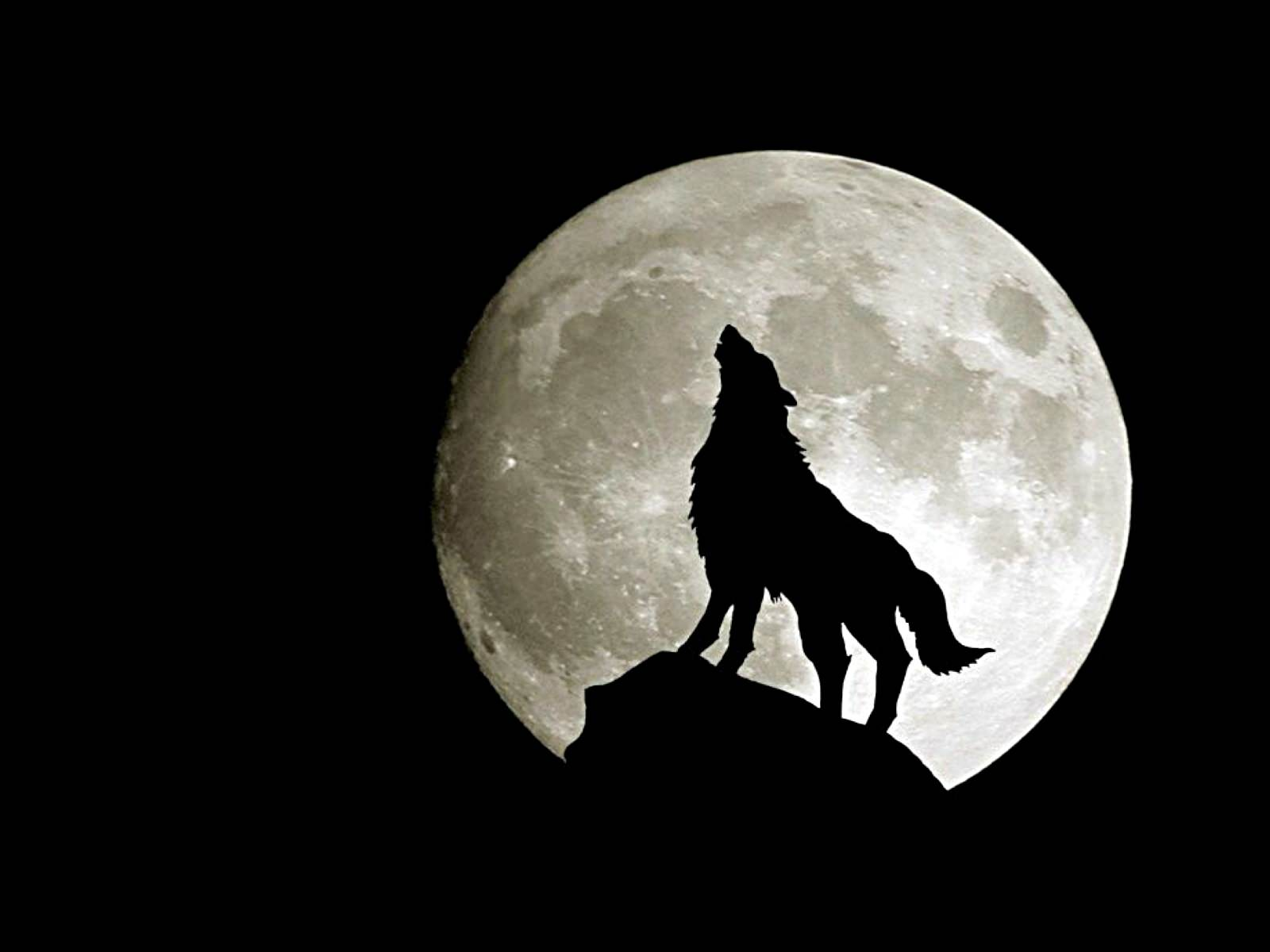 Wolf Howling in Dark Background
