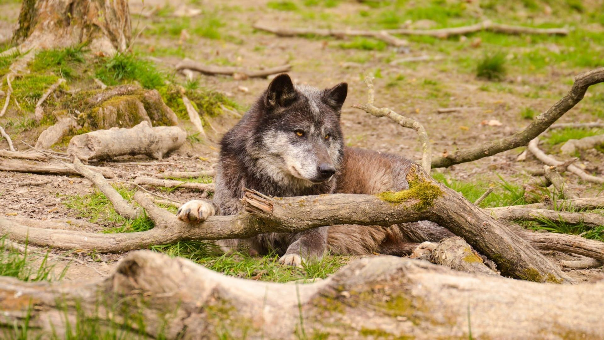 Wolf in Woods Background