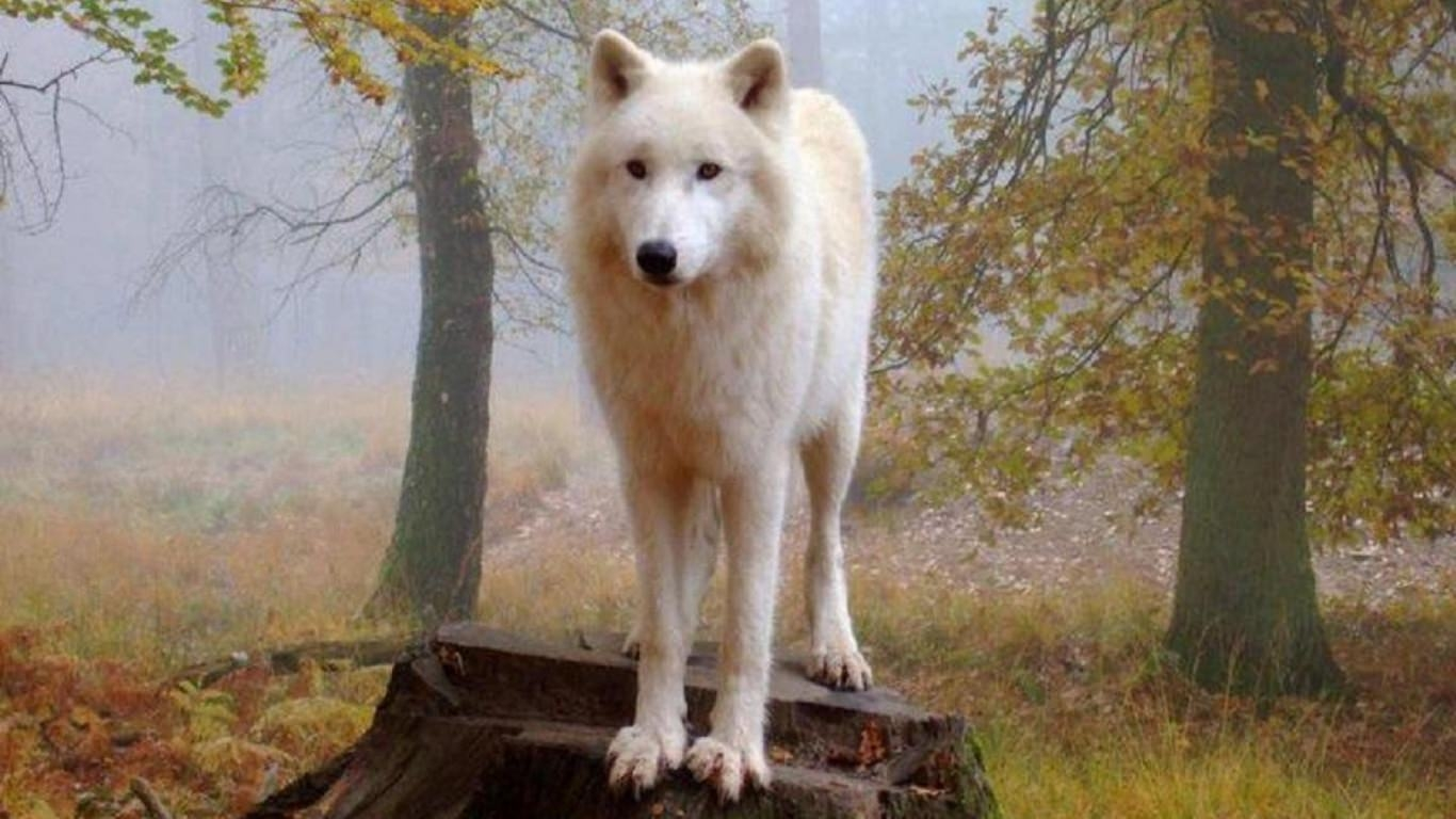 Proud White Wolf Background
