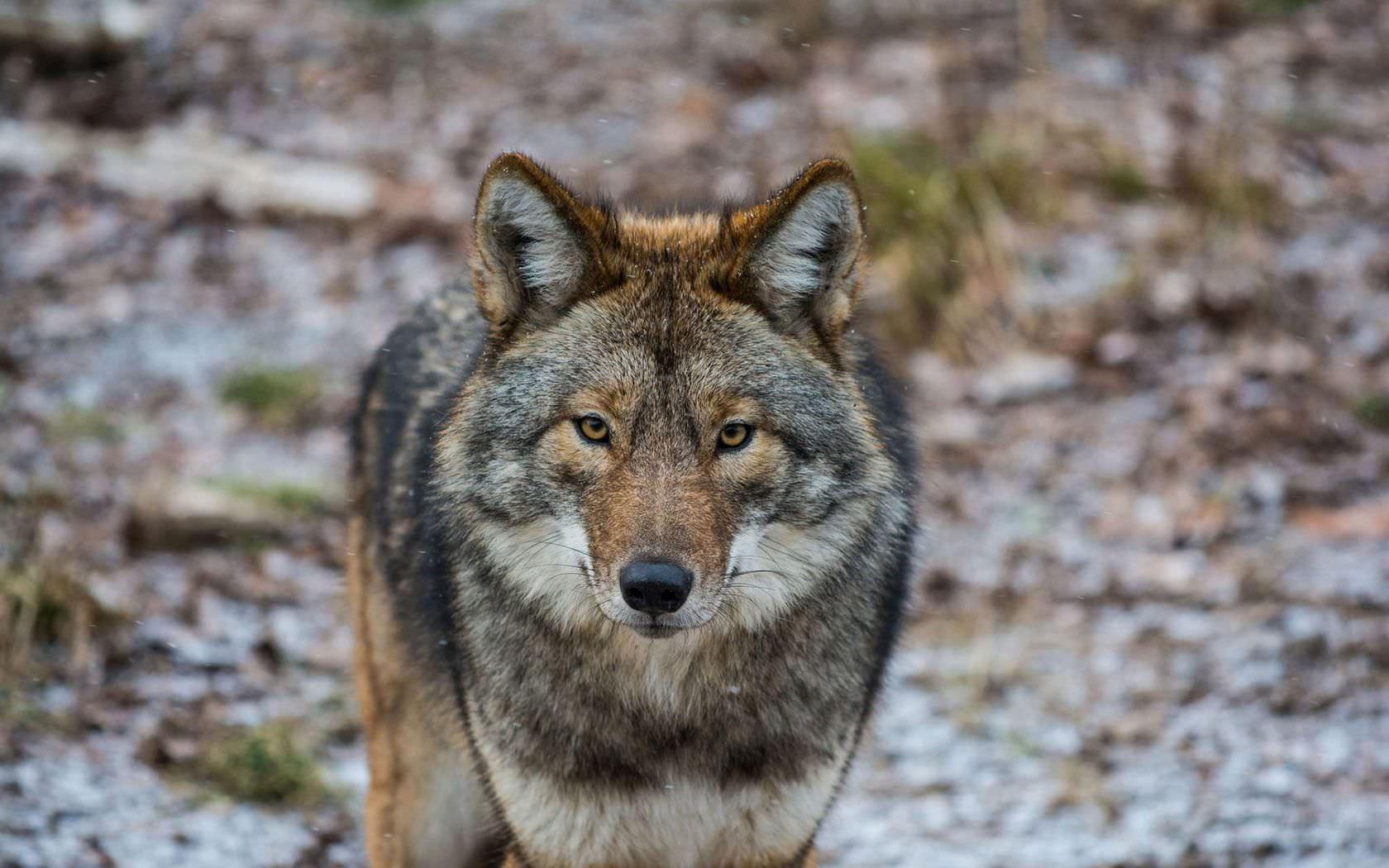 Staring Wolf Background