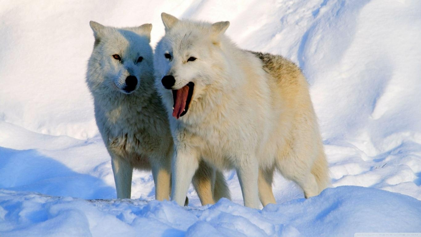 Arctic Wolves Background