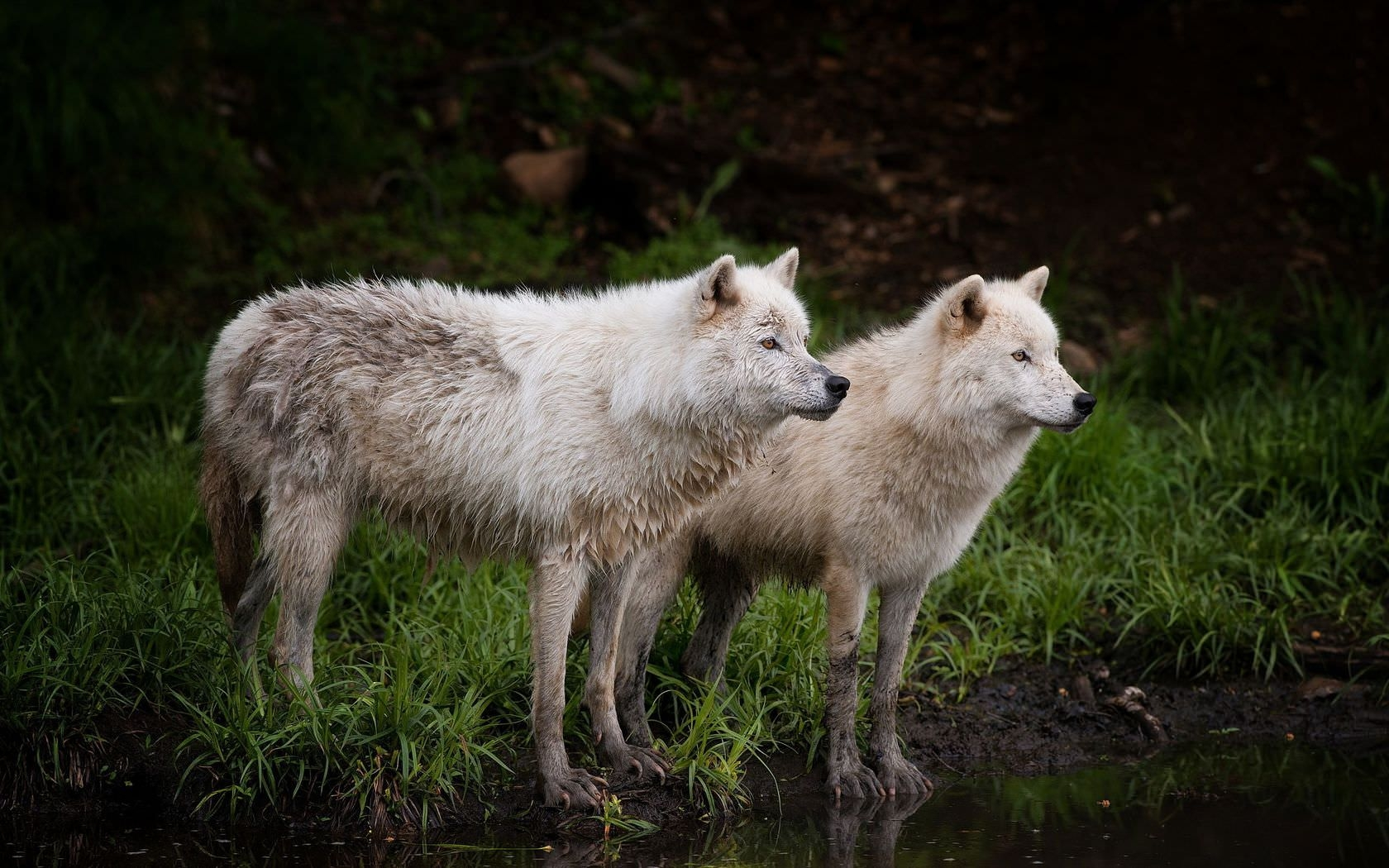 White Wolves at the Lake Side Background