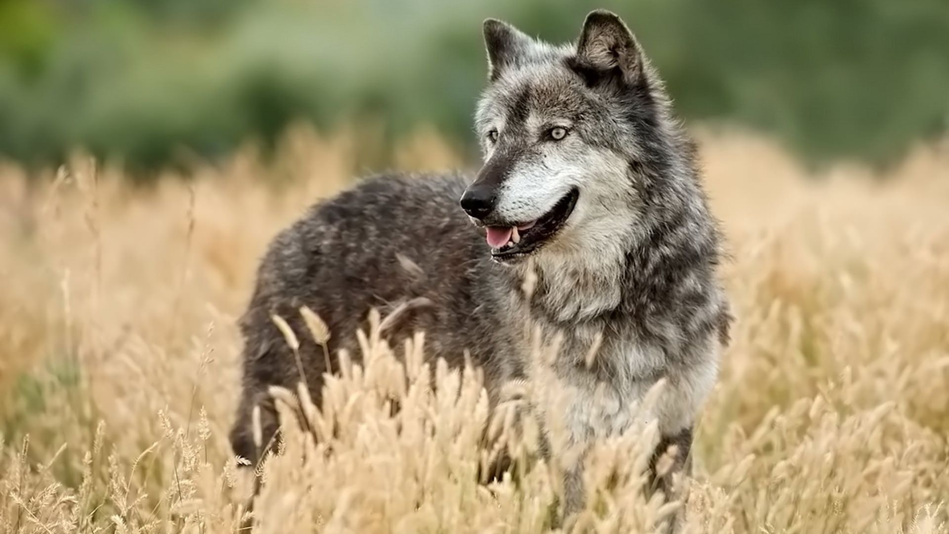 Wolf Looking out Background