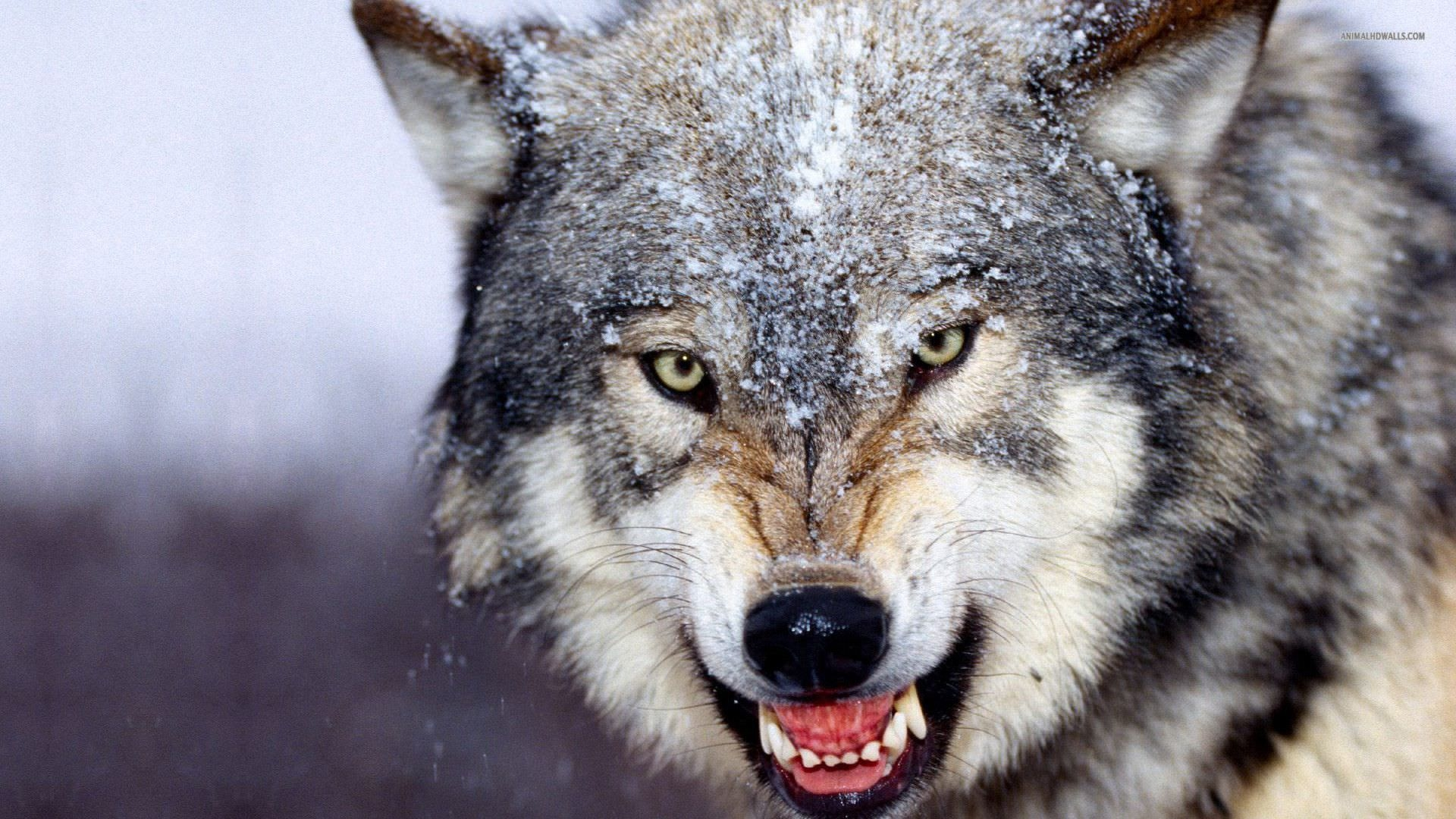 Ferocious Wolf Background