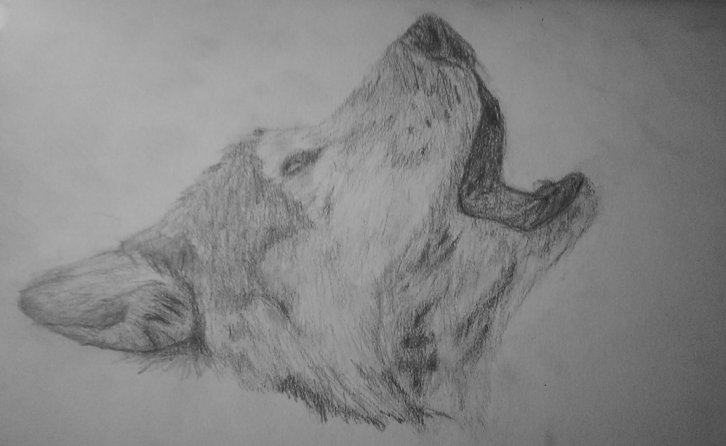 Awesome Wolf Drawing For Free