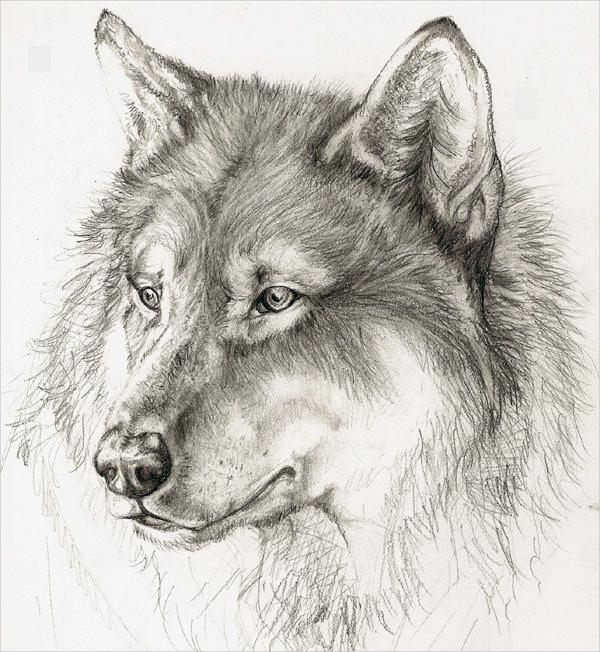 Graphite Pencil Drawing of a Wolf