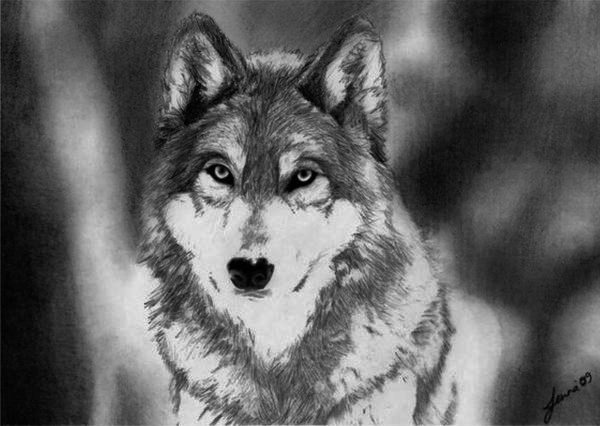 Drawing of a Wolf