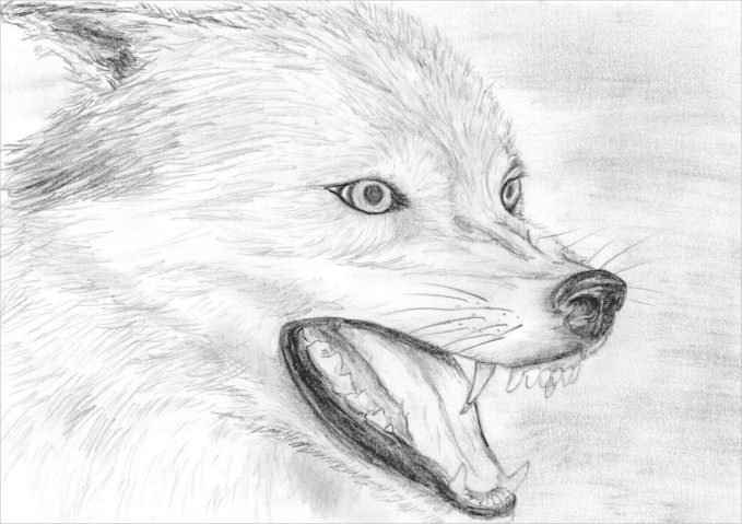 Wolf Drawing For Free Download
