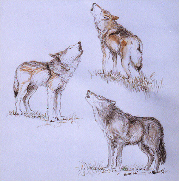 Pack of Howling Wolves Drawing