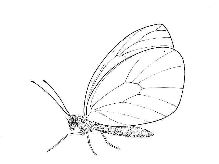 Amazing Butterfly Drawing