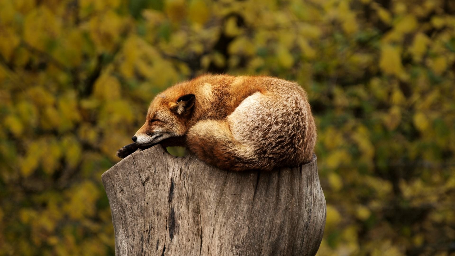 Amazing Fox Wallpaper