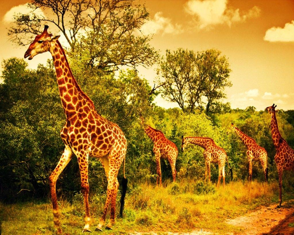 Astonishing Giraffes Wallpaper
