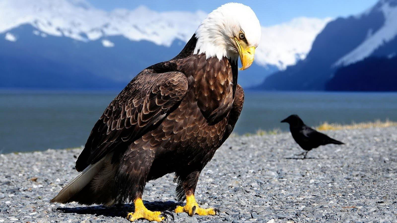 Attractive Eagle Desktop Wallpaper