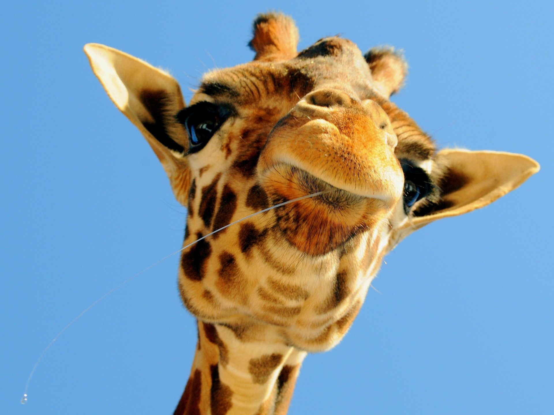 Awesome Giraffe Wallpaper