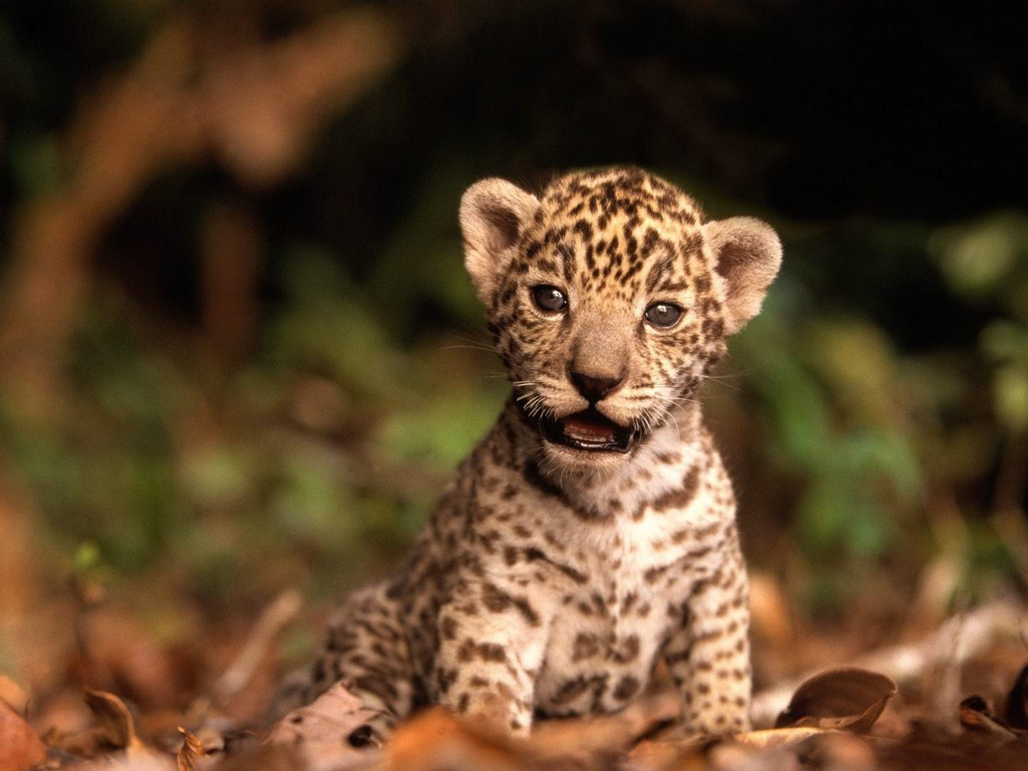 Baby Leopard Wallpaper
