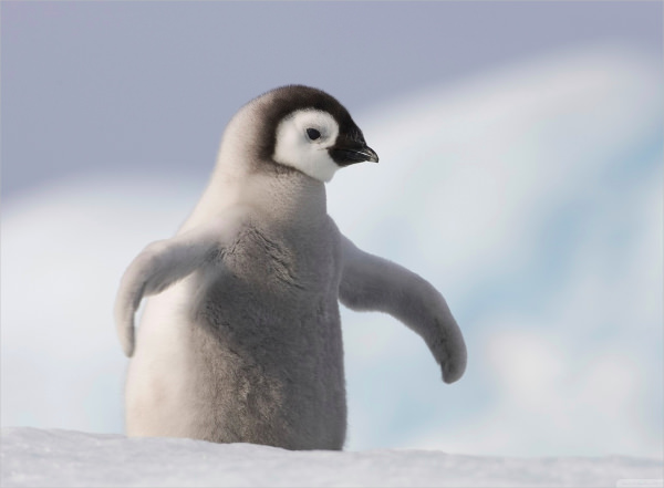 Baby Penguin in Antarctica Wallpaper